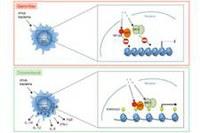 Die natürliche Darmflora kurbelt das Immunsystem an