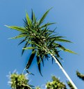 Insight Health analysiert den Cannabis-Arzneimittelmarkt